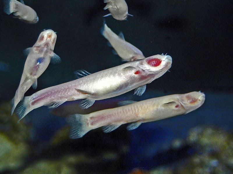 troglomorphism, cavefish facts