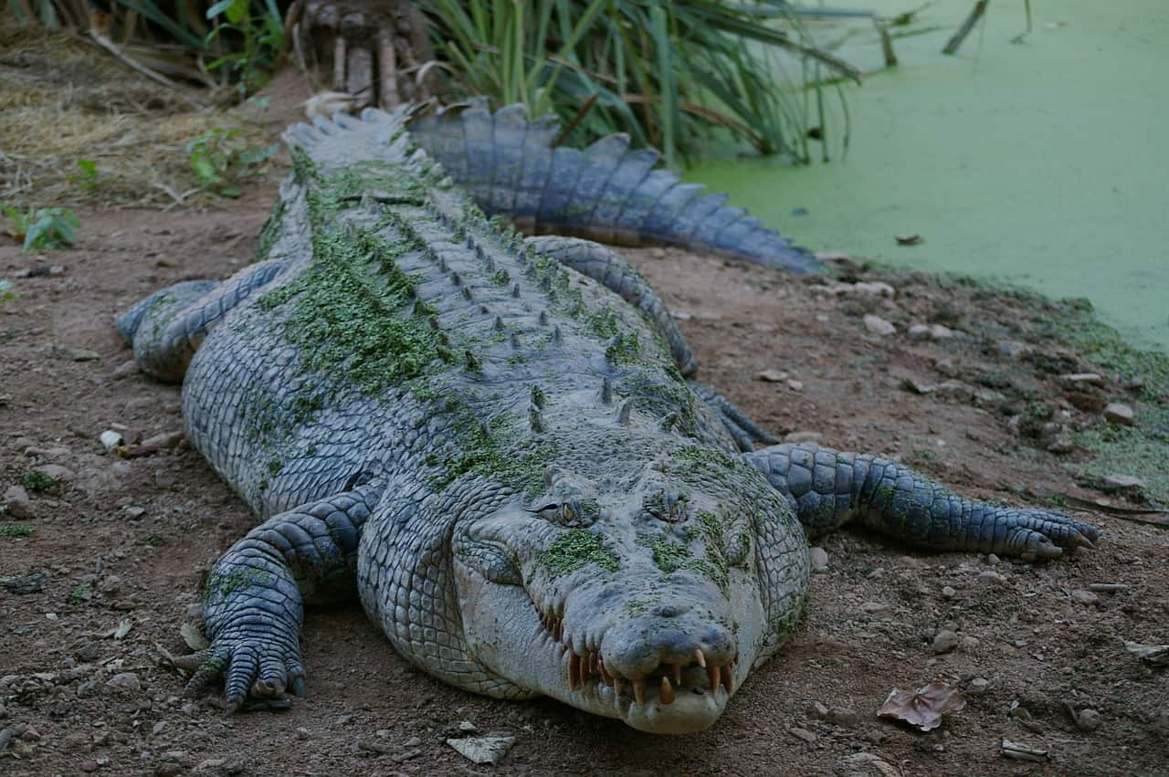 crocodile, ecology facts