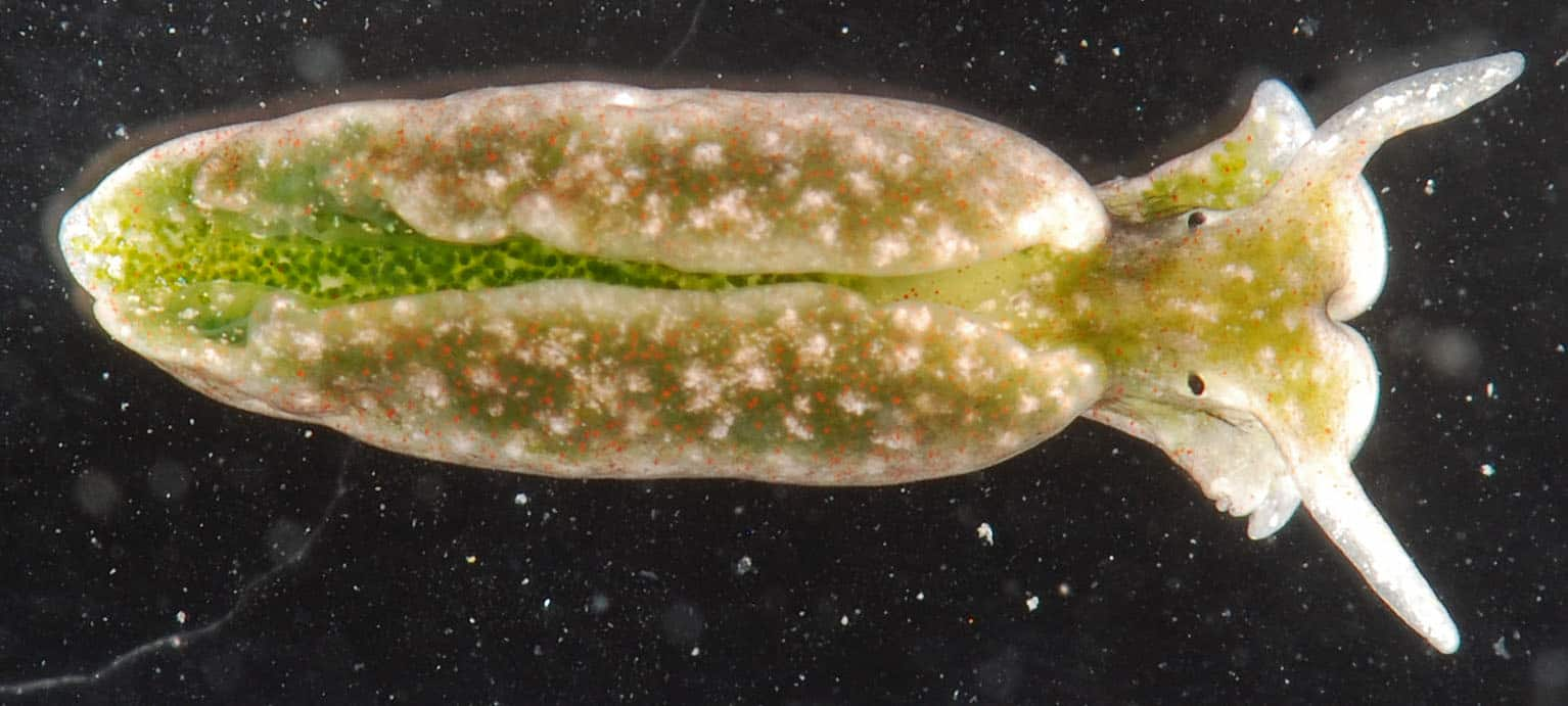 sea slug, photosynthesis facts