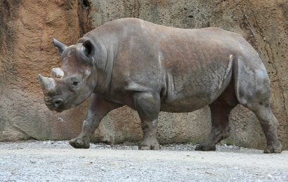 rhino facts