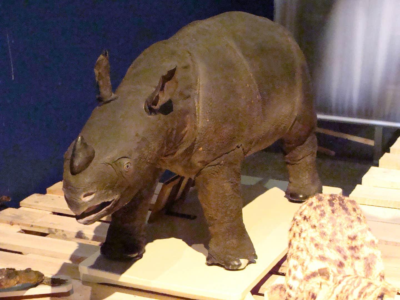 javan rhino, rhino facts