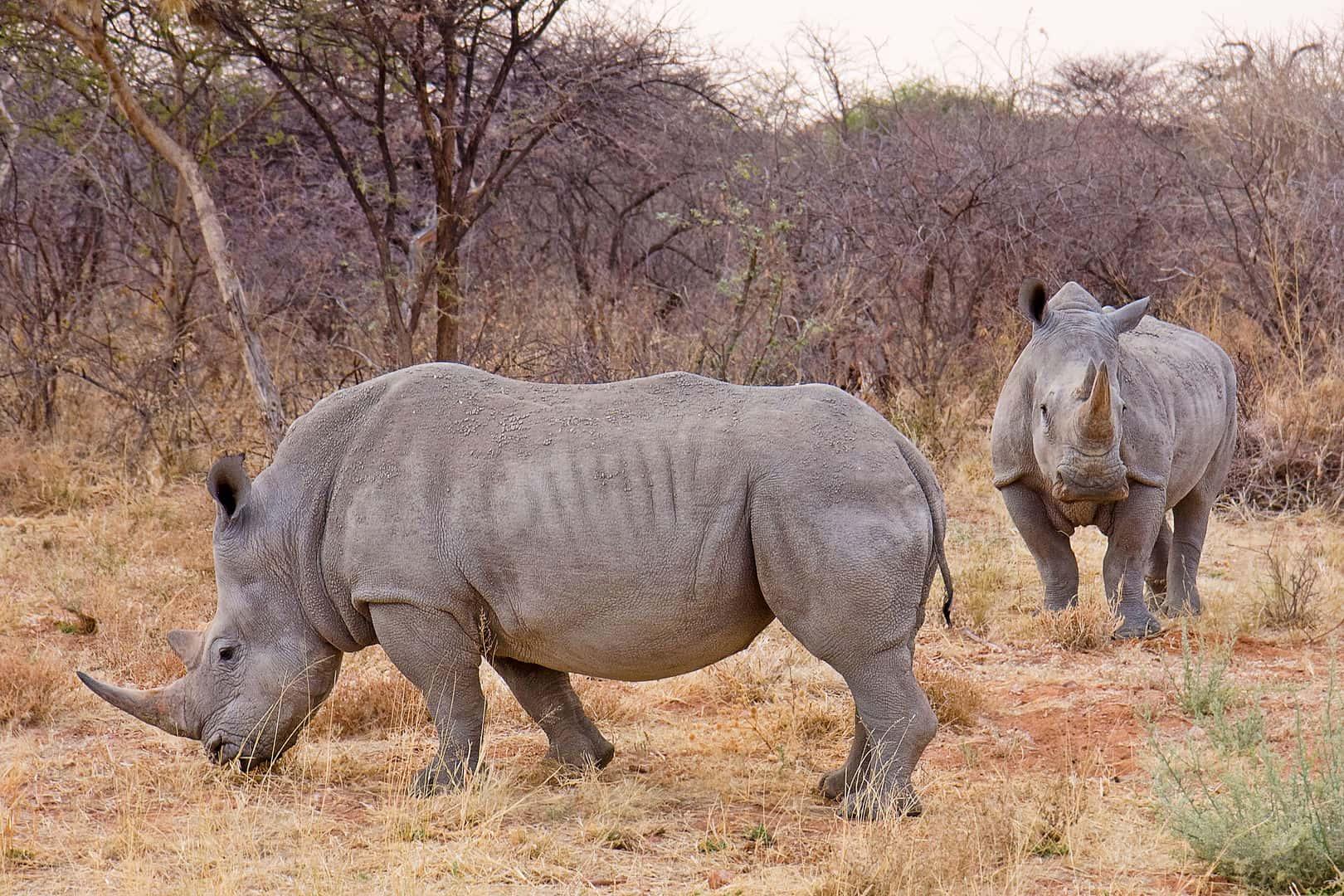 white rhino, rhino facts