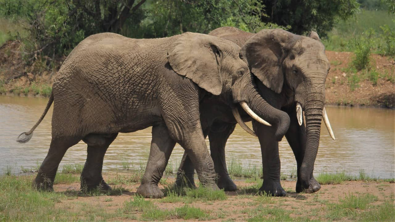 african elephants, extinction facts