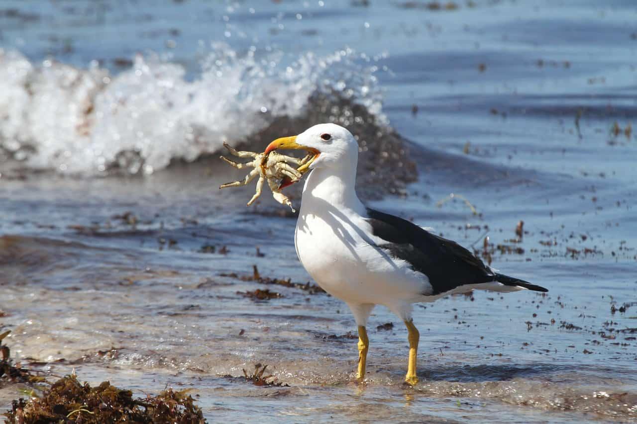 albatross eating crab