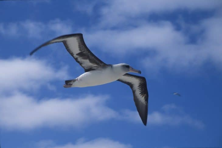 albatross facts