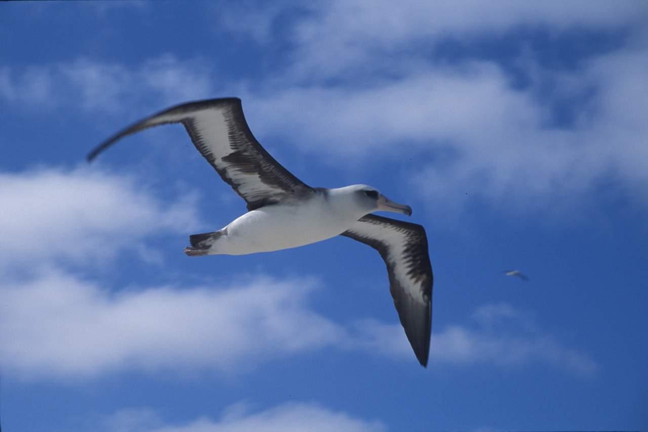 albatross facts