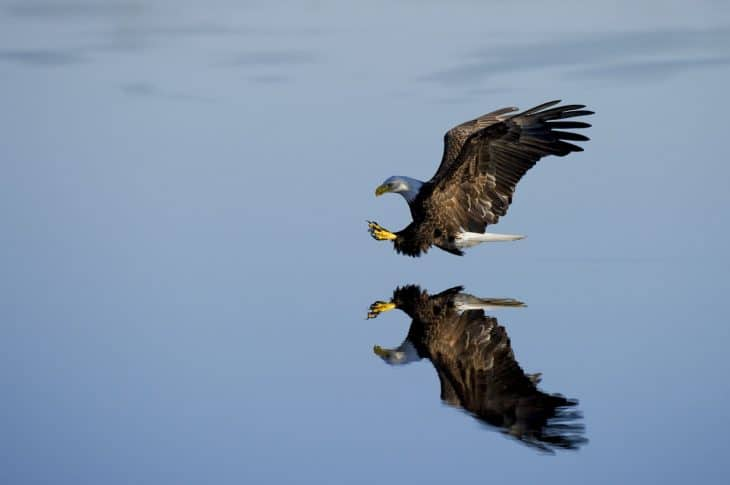 eagle facts, water
