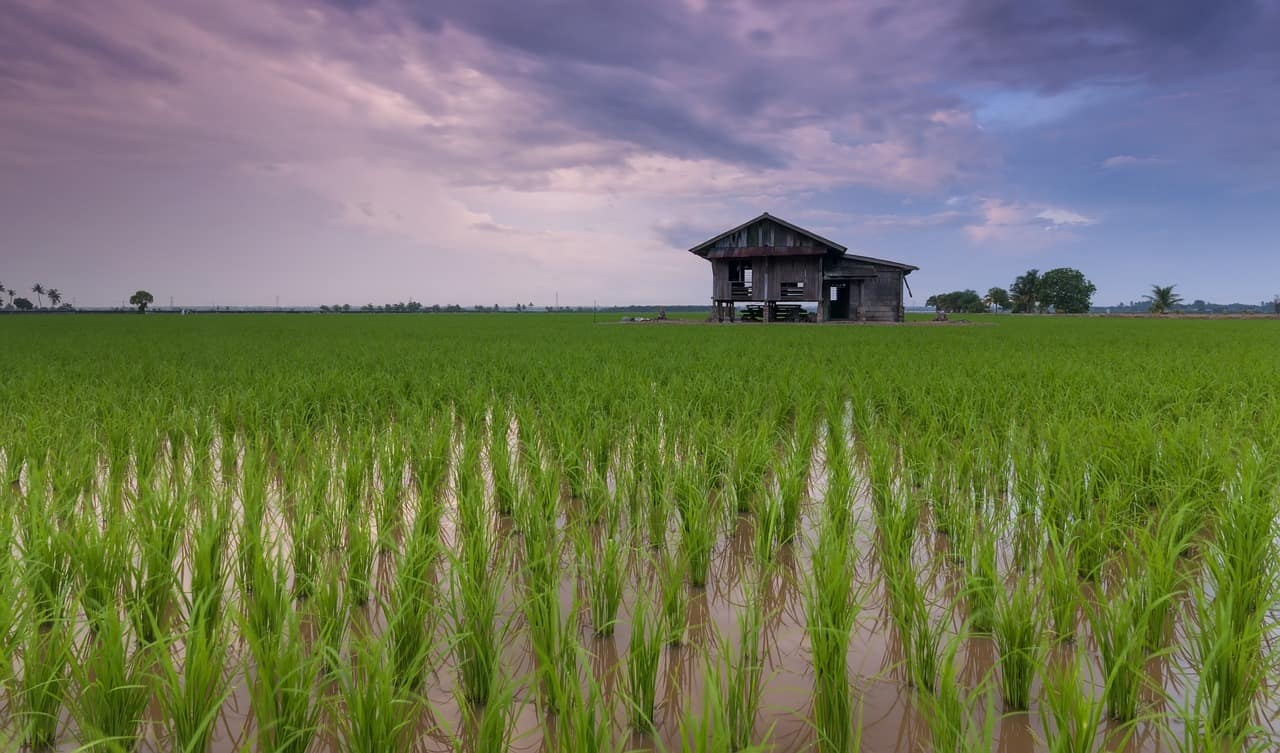 rice paddy, rice facts