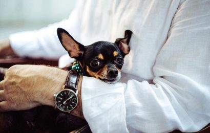 chihuahua facts, arm, watch
