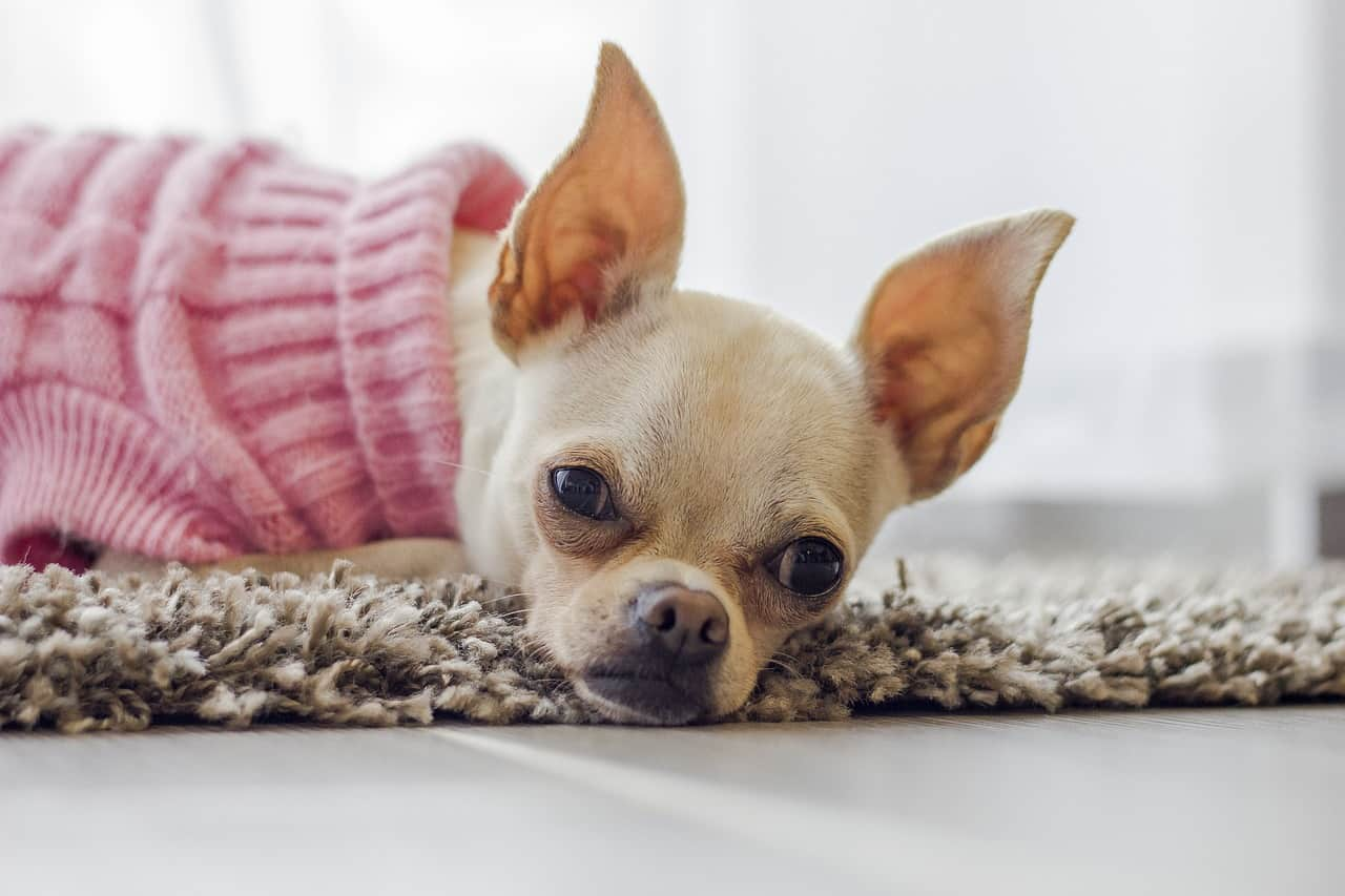 ears, chihuahua