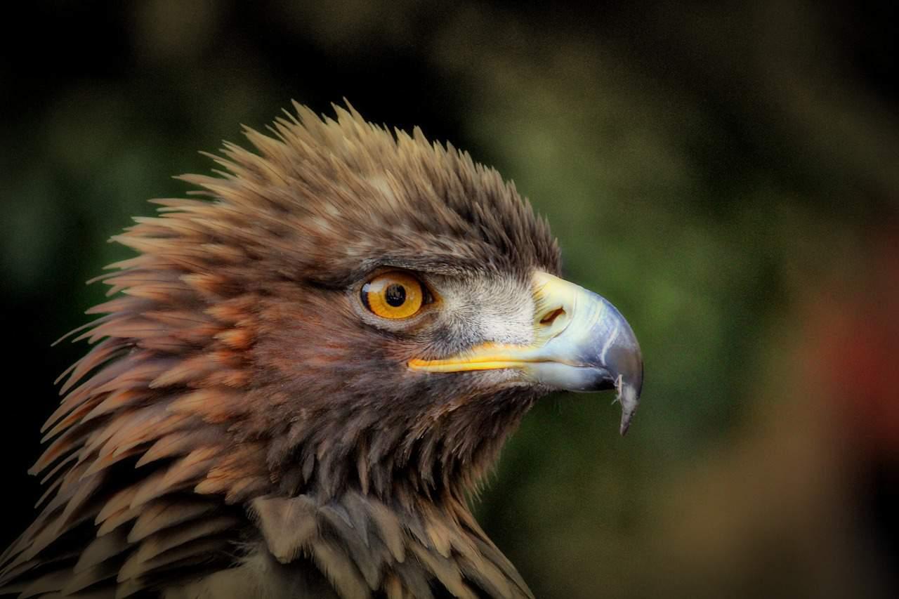 eagle facts, beak