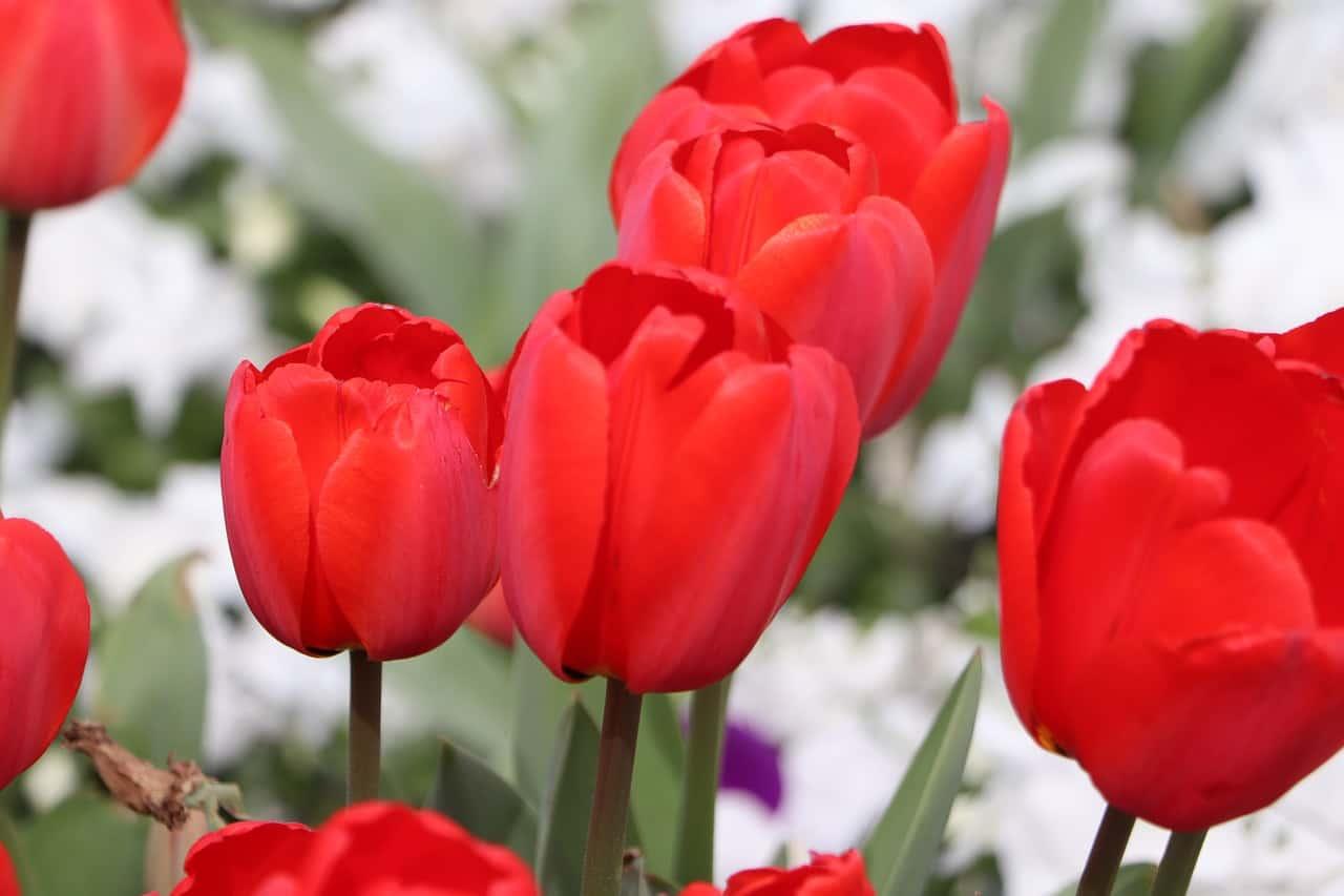 tulips, turkey facts