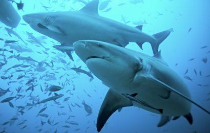 bull shark facts