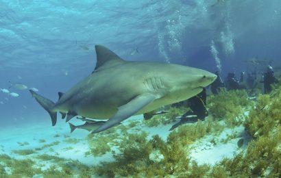 Bull Shark Facts, a bull shark swimming off the Bahamas