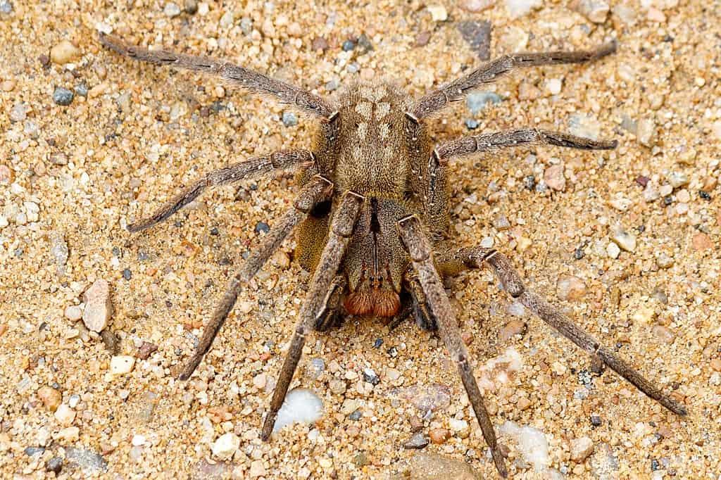 brazilian wandering spider, spider facts