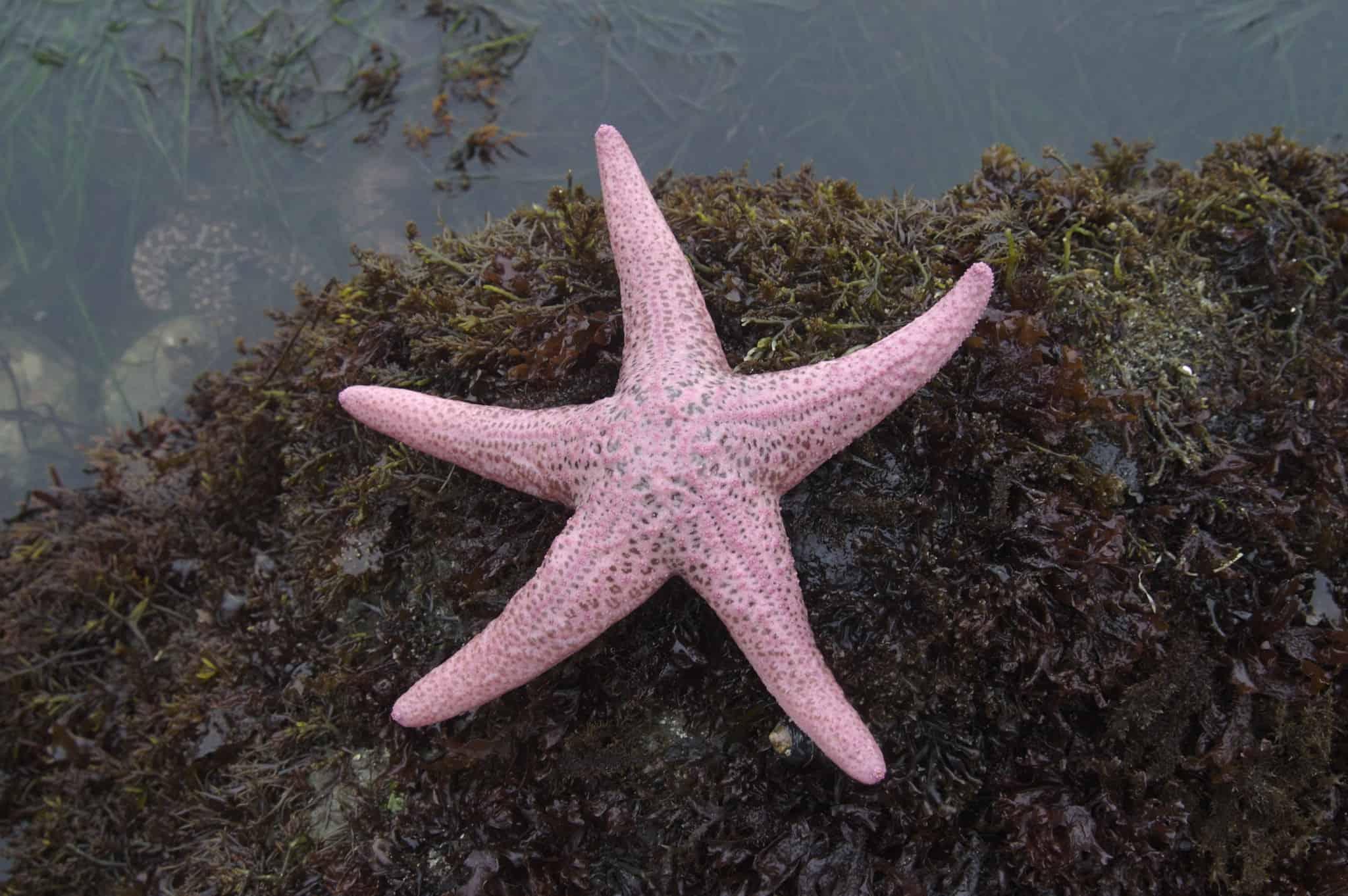 pink starfish, starfish facts