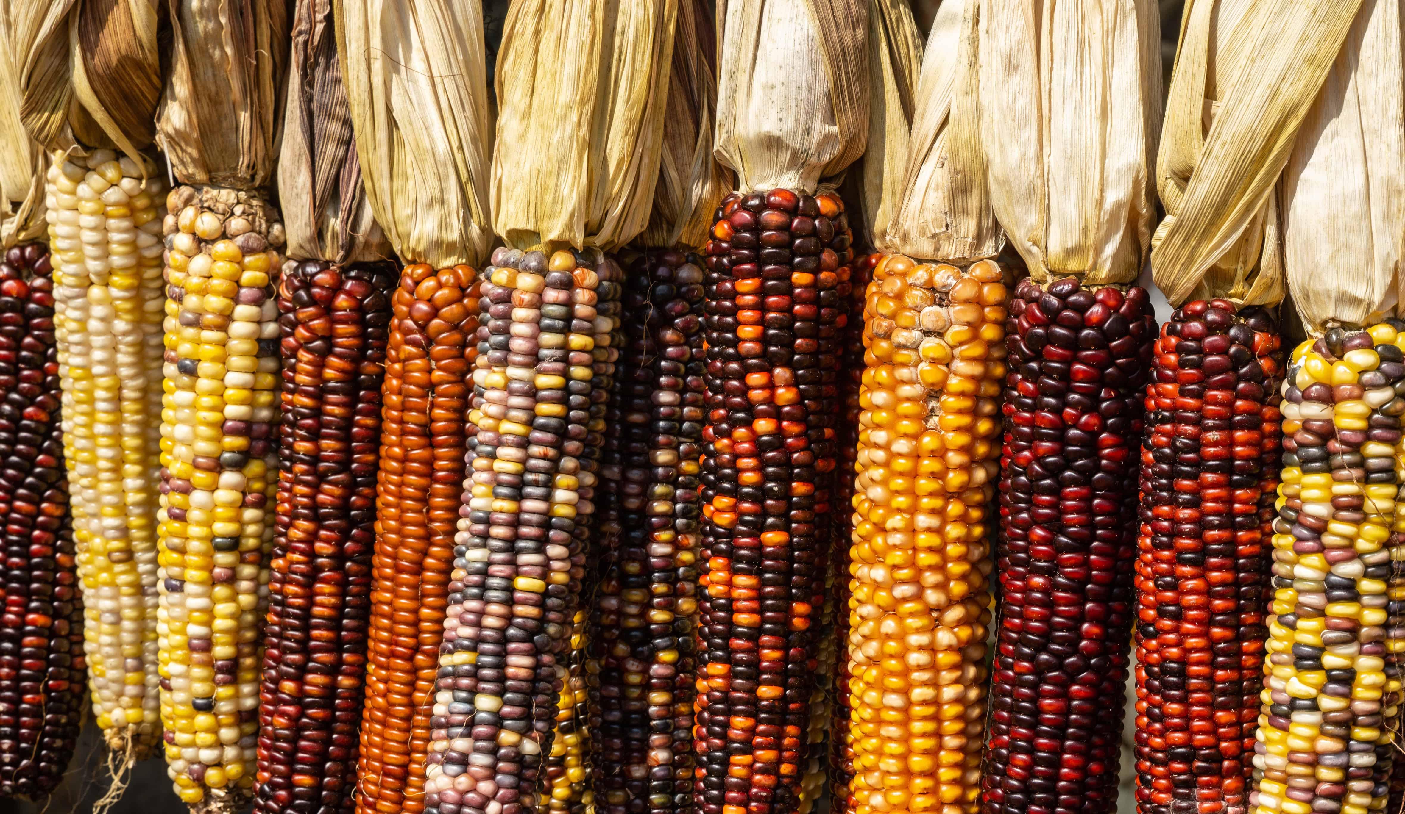 colored corn, corn facts