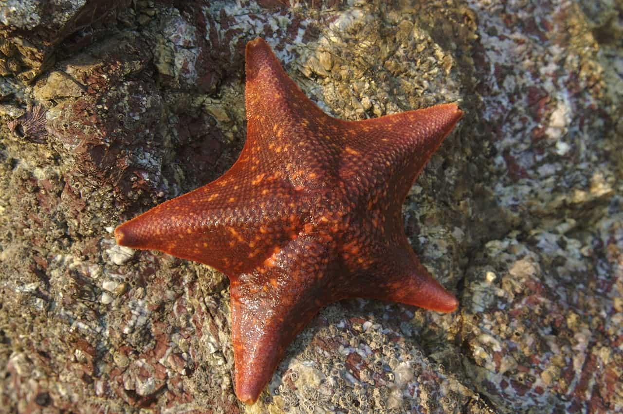 Bat starfish, starfish facts