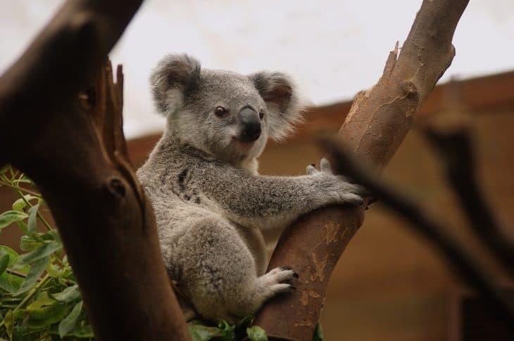Koala Facts, Koala