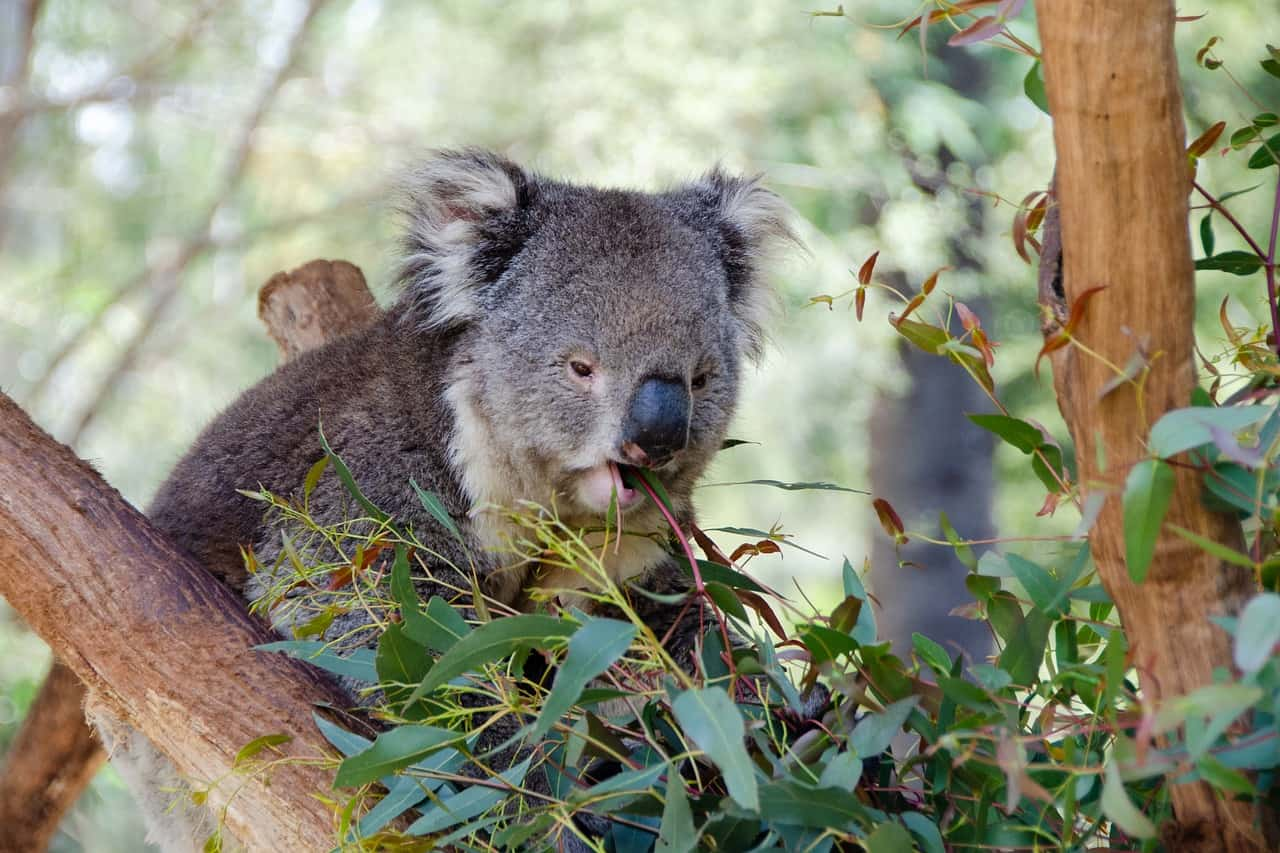 Koala Facts, Koala Eating