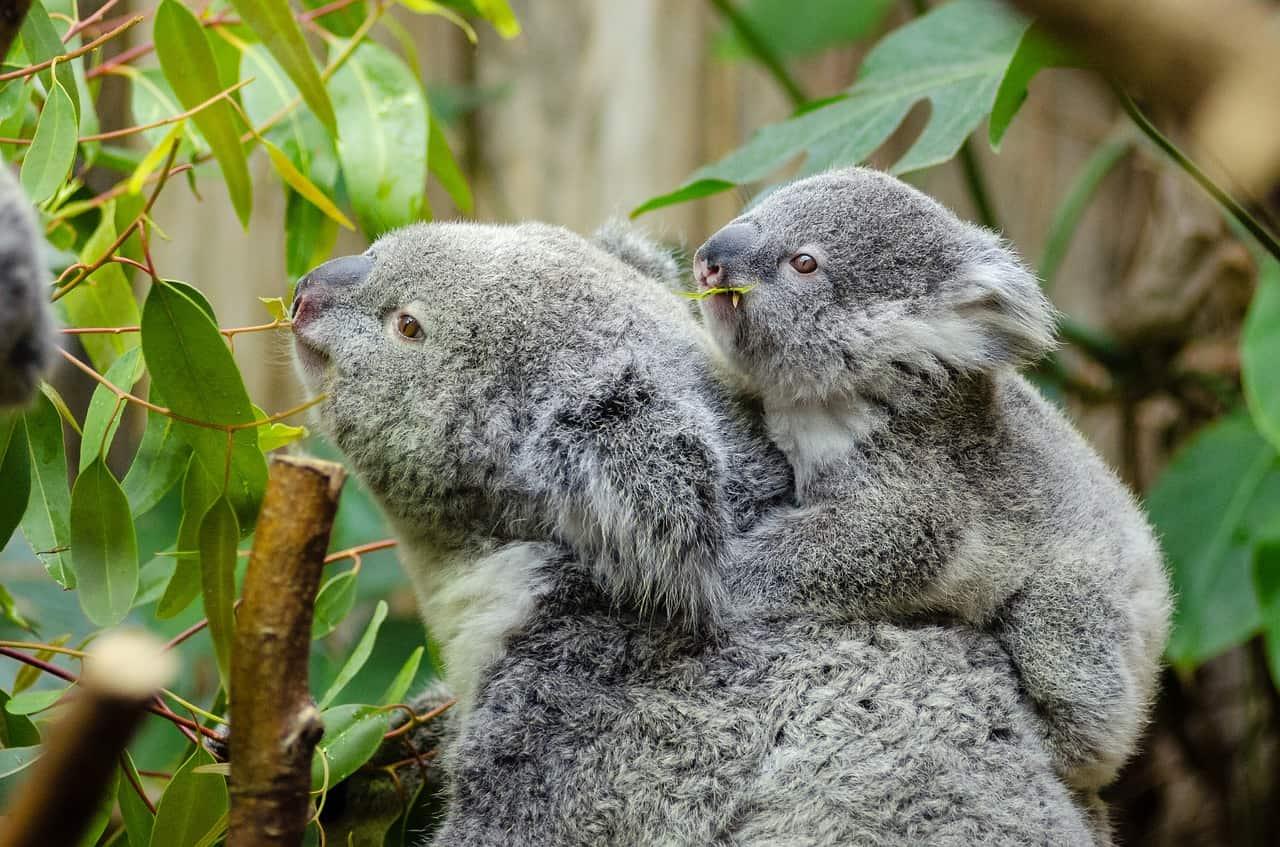 Koala Facts, Mom and Joey