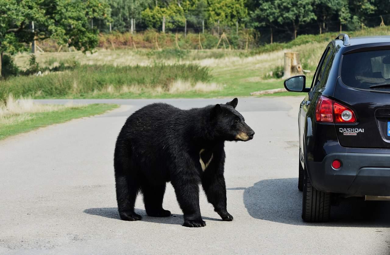 Bear Facts, Urban Bear