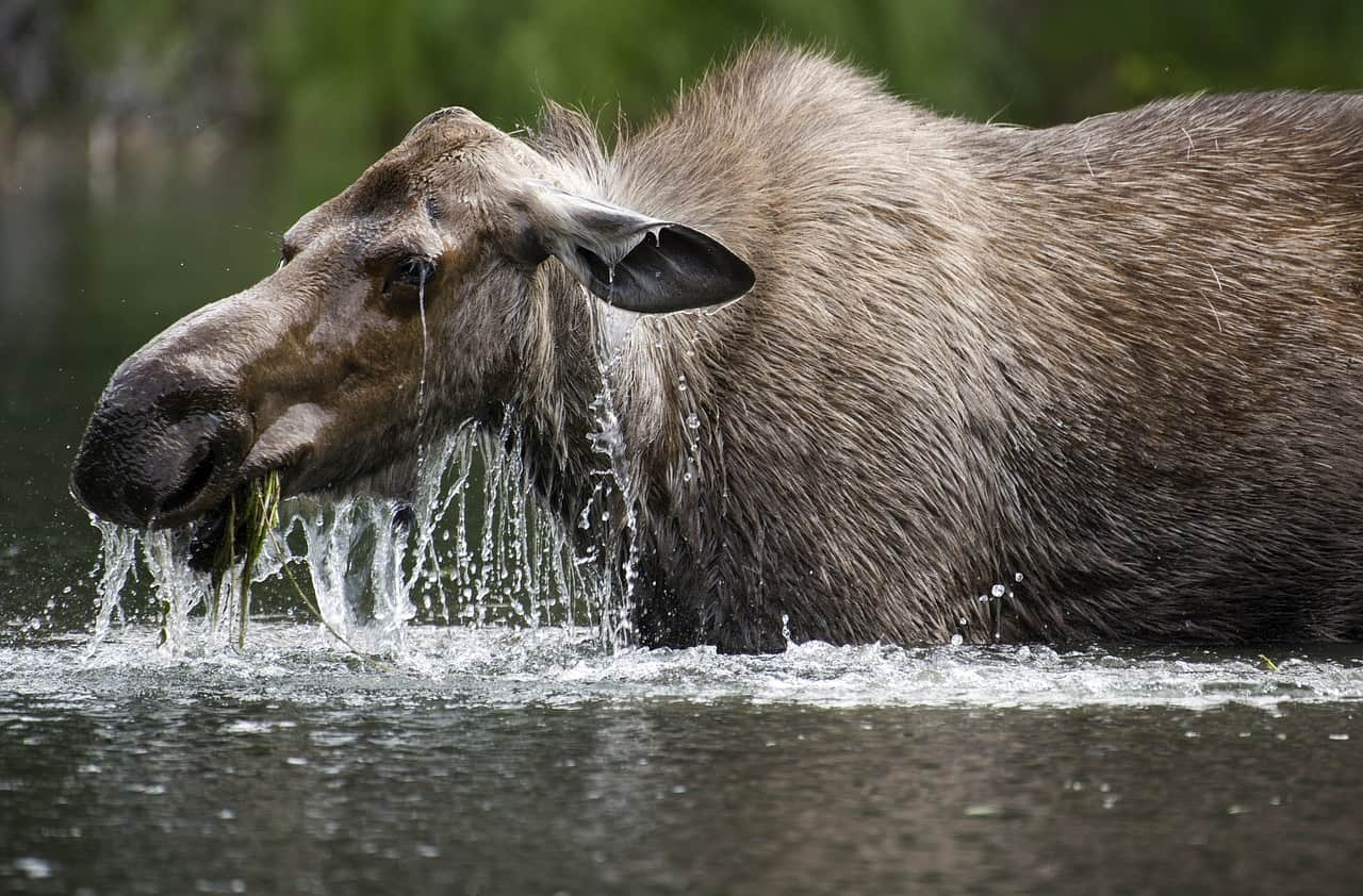 moose facts