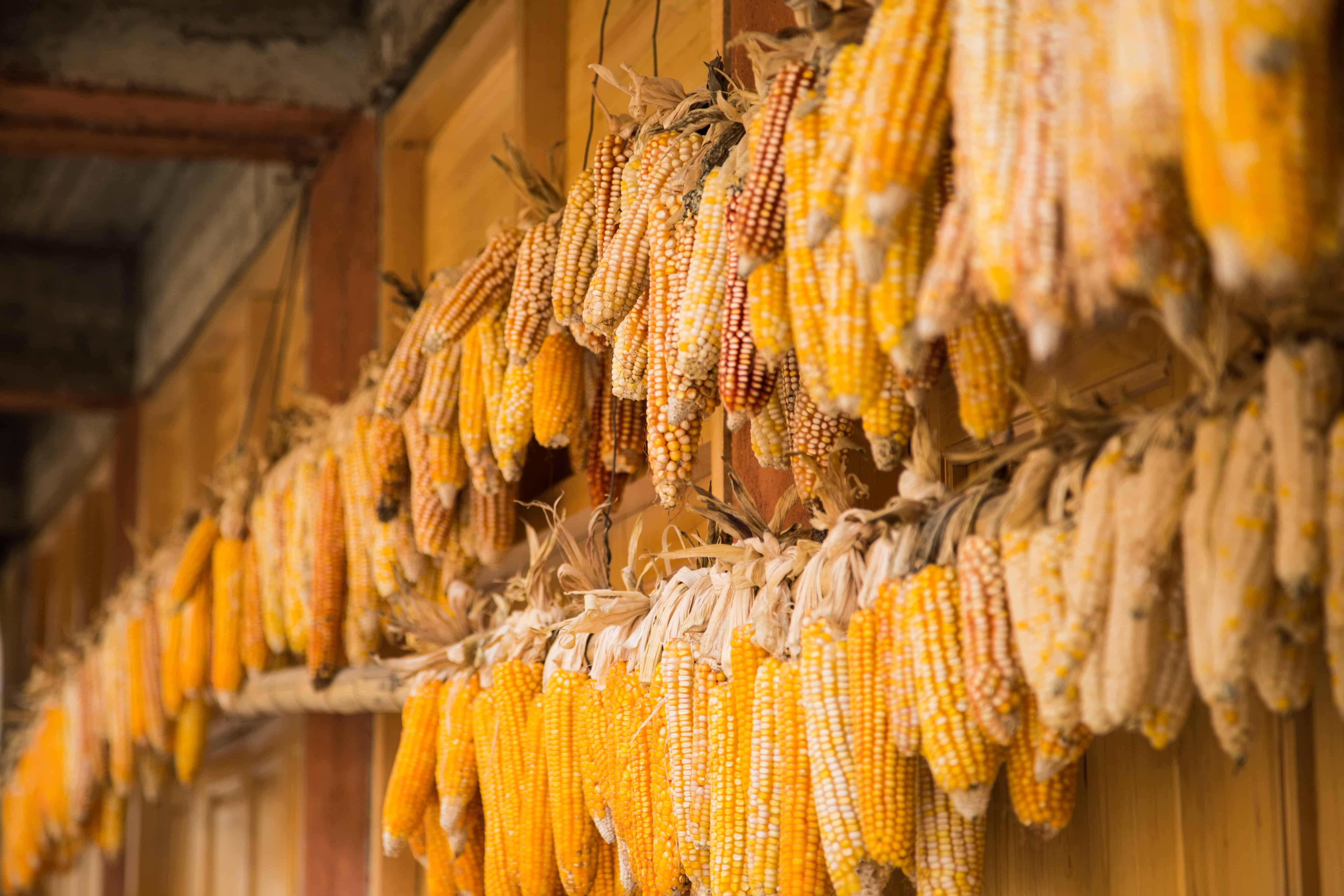 corn production, corn facts