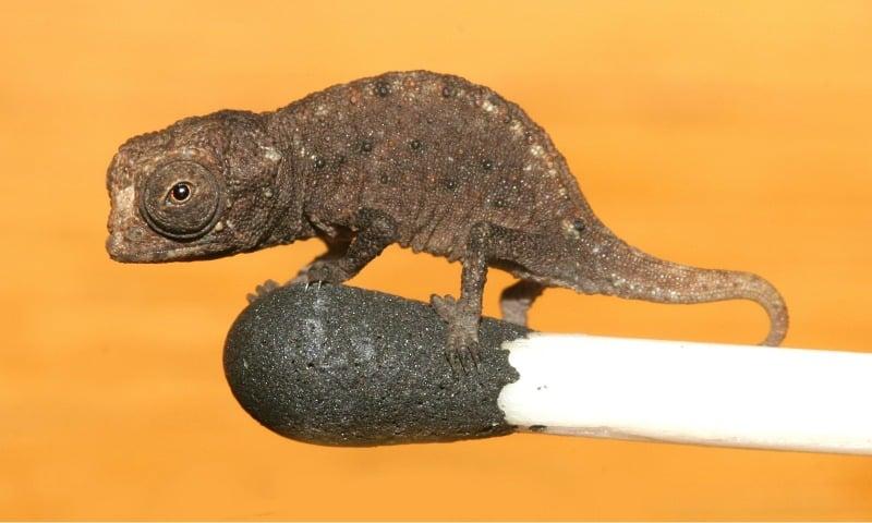 brookesia micra, smallest chameleon, chameleon facts