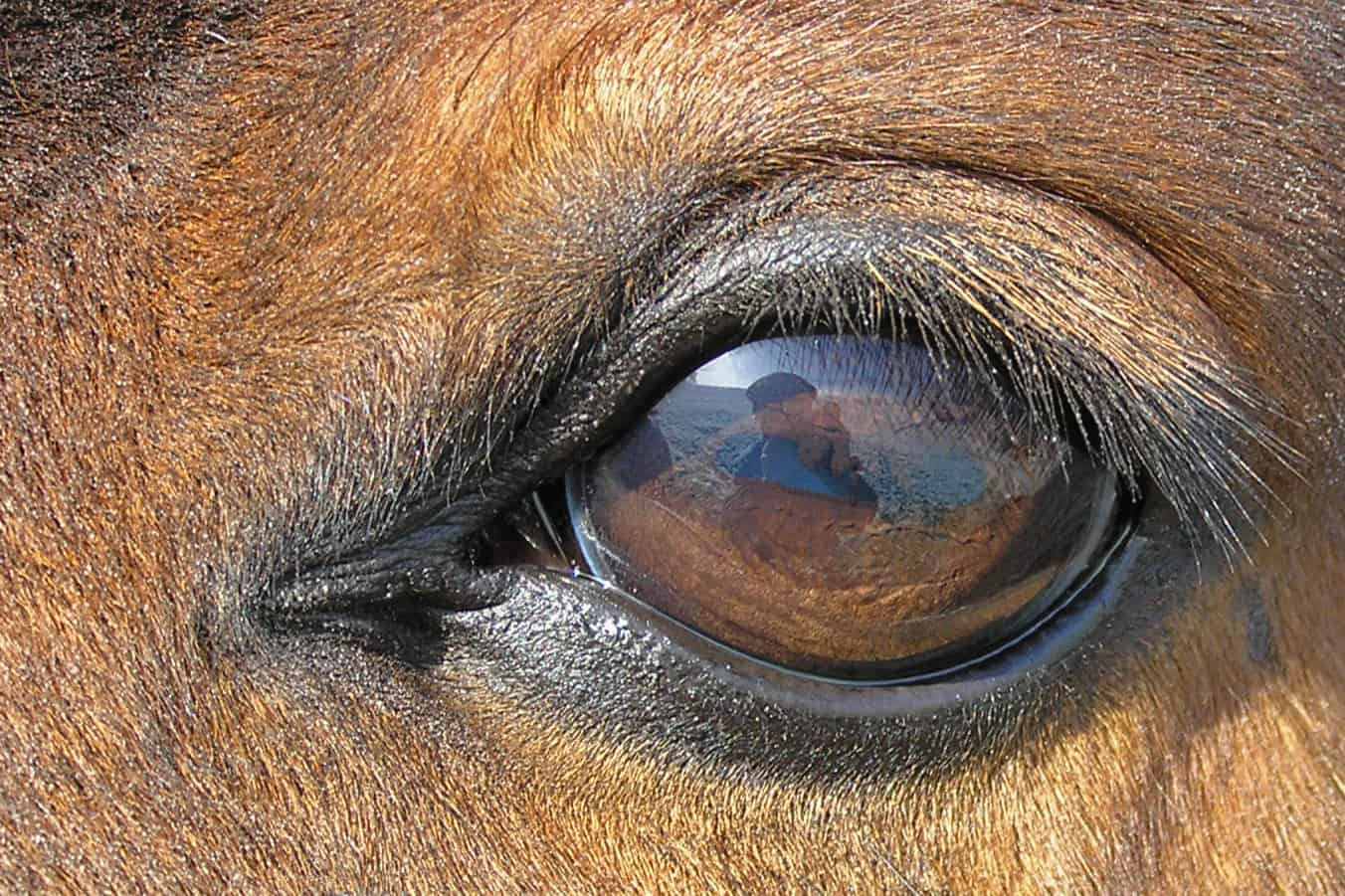 Horse Facts, Horse Eye