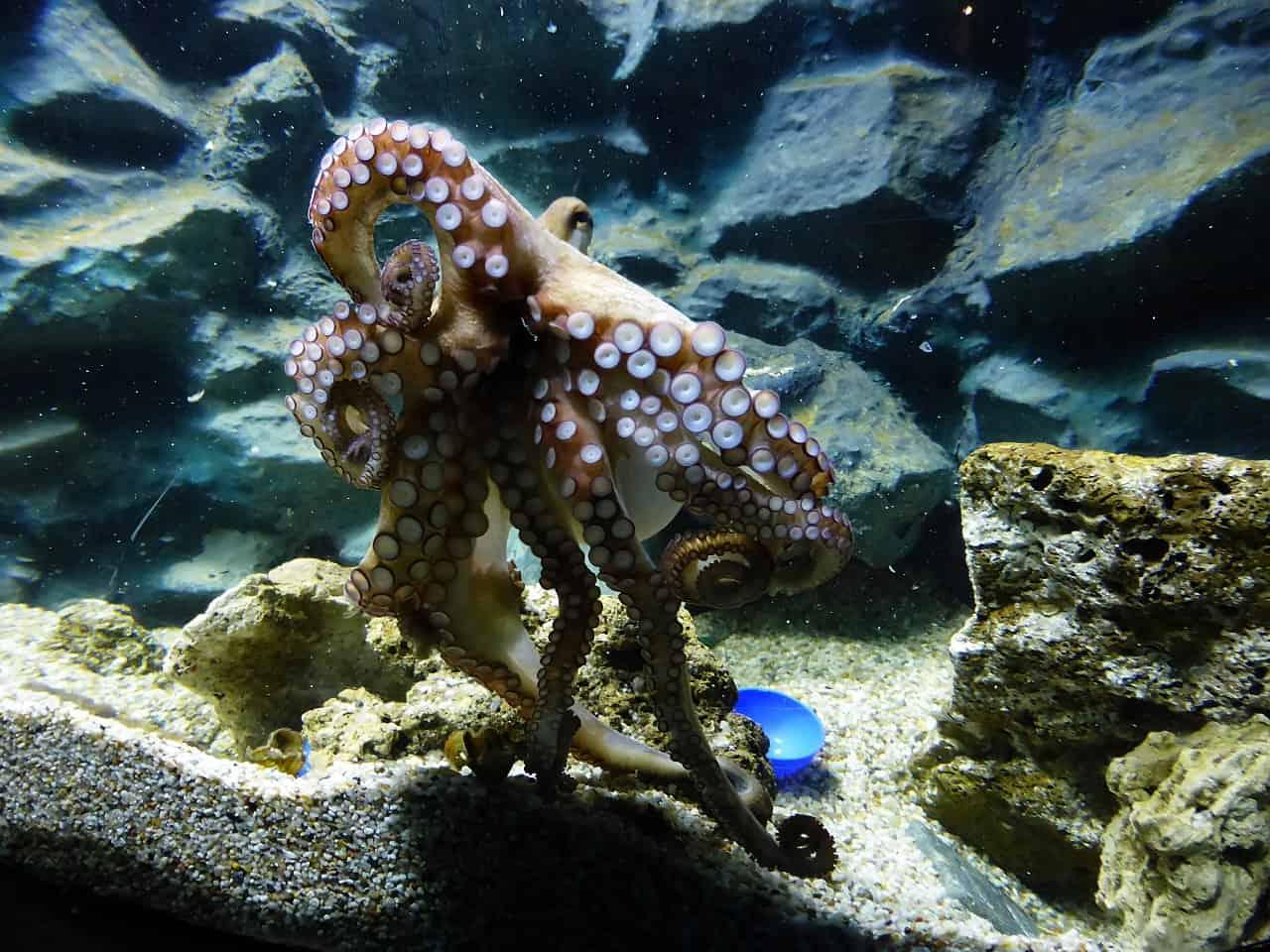 vulgaris octopus, octopus facts