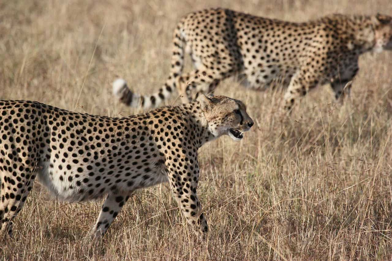 cheetah facts, africa