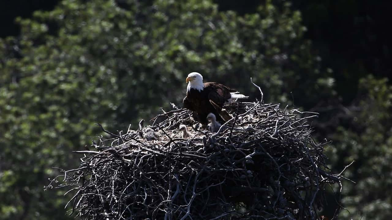 nest, bald eagle facts