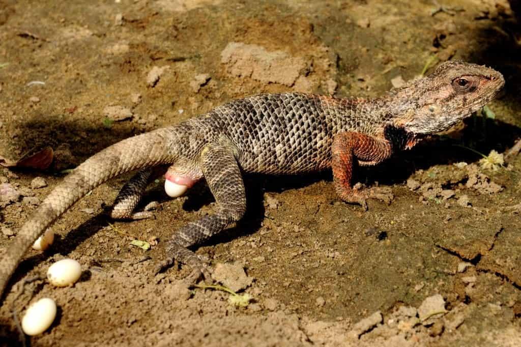 chameleon laying eggs, chameleon facts