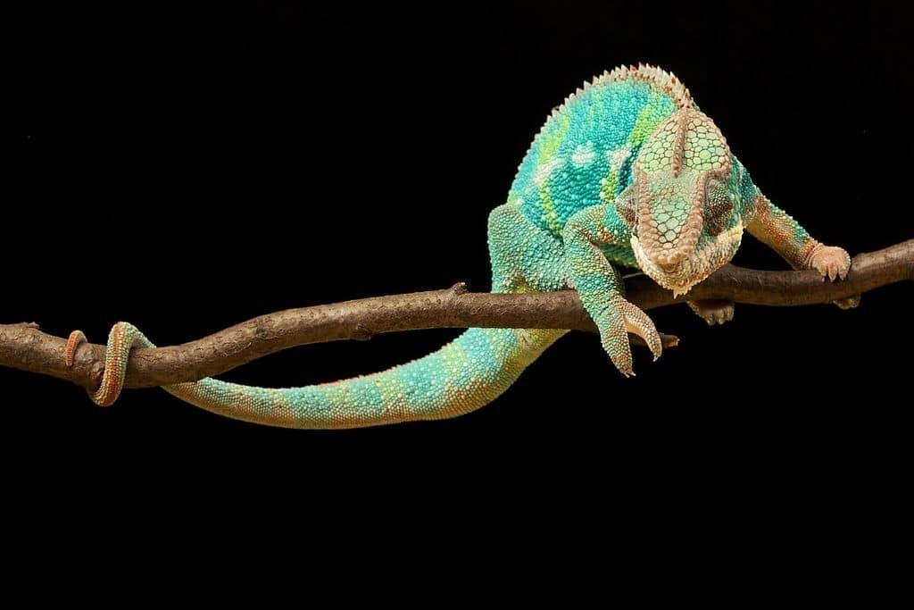chameleon tail, chameleon facts