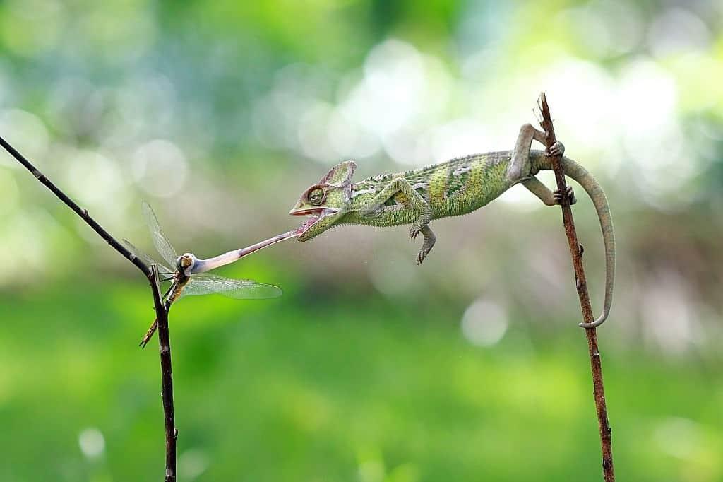 chameleon tongue, chameleon facts