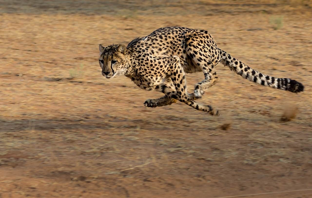 cheetah facts, running