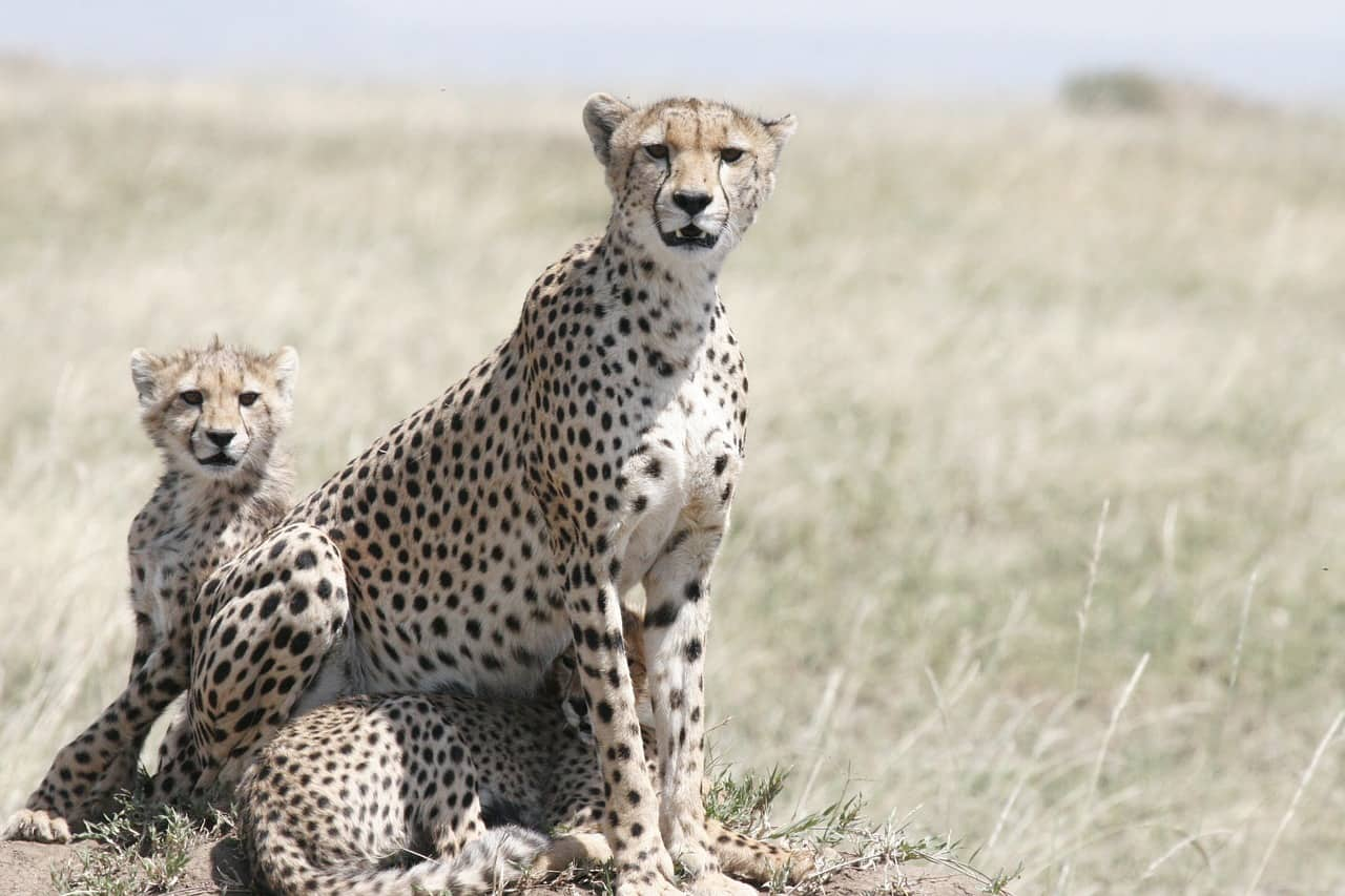 cheetah facts, cheetah, cub