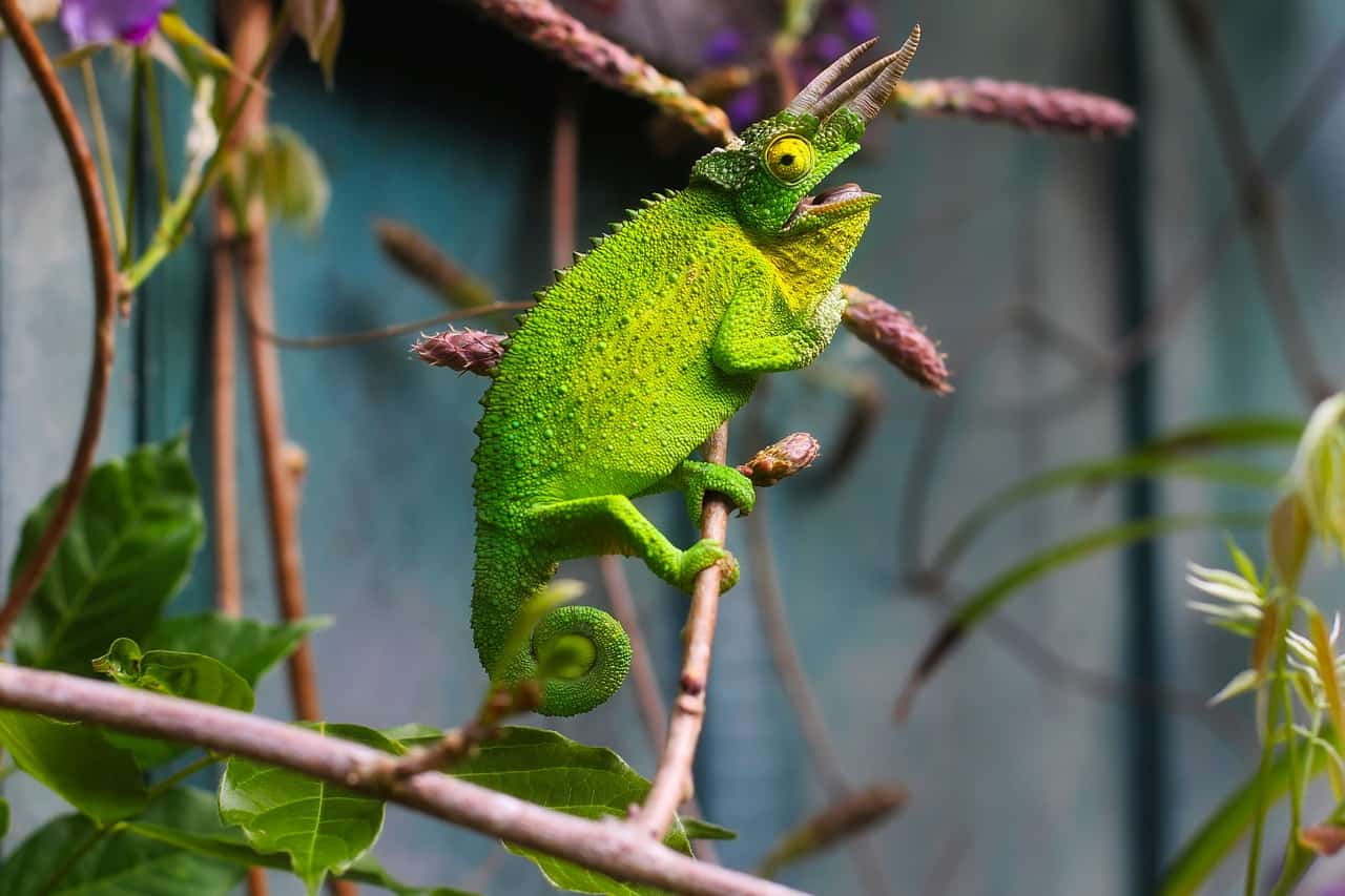 jackson's chameleon, chameleon facts