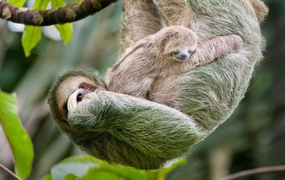 mother sloth and baby sloth, sloth facts