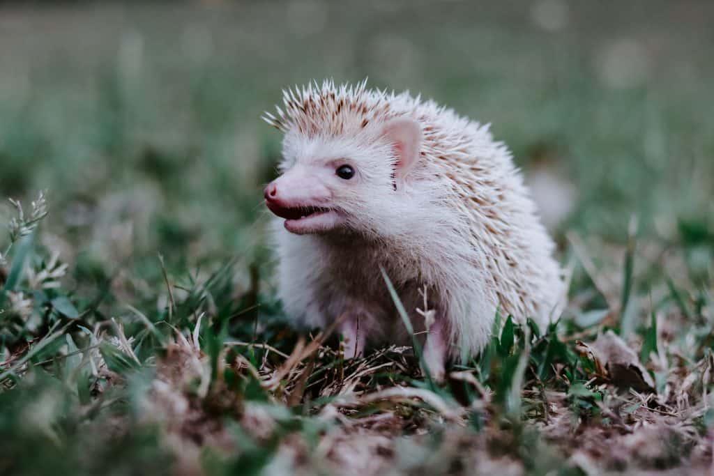 hedgehog facts, hedgehog noises