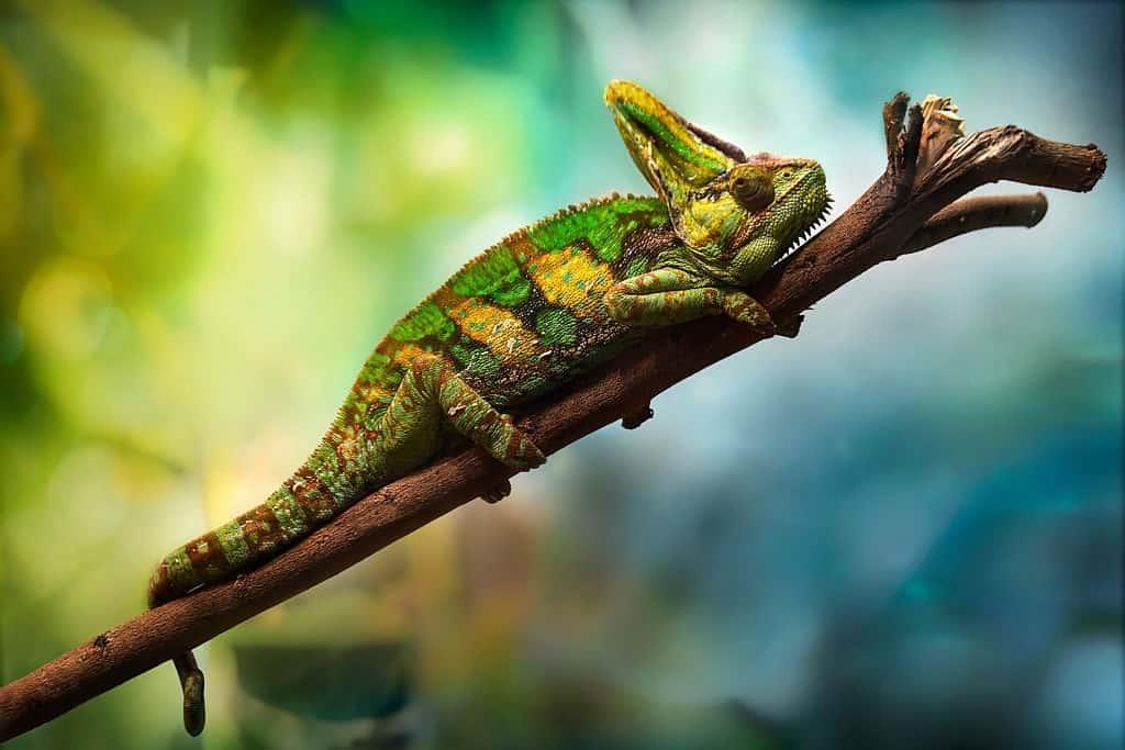 veiled chameleon, chameleon facts