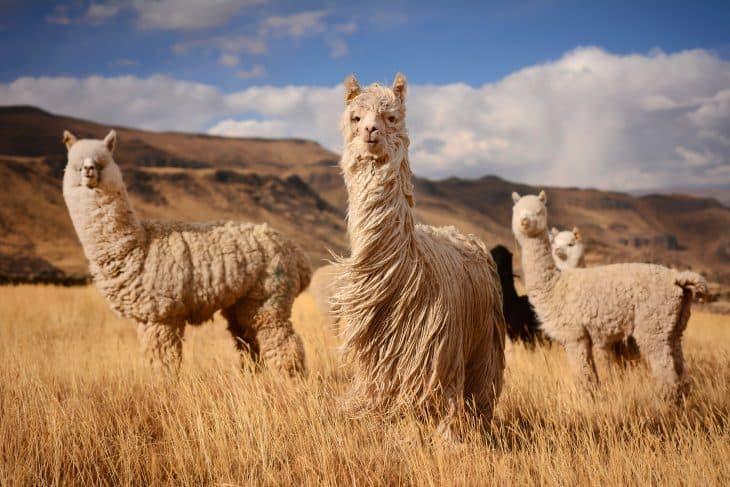 3 llamas in peru, llama facts