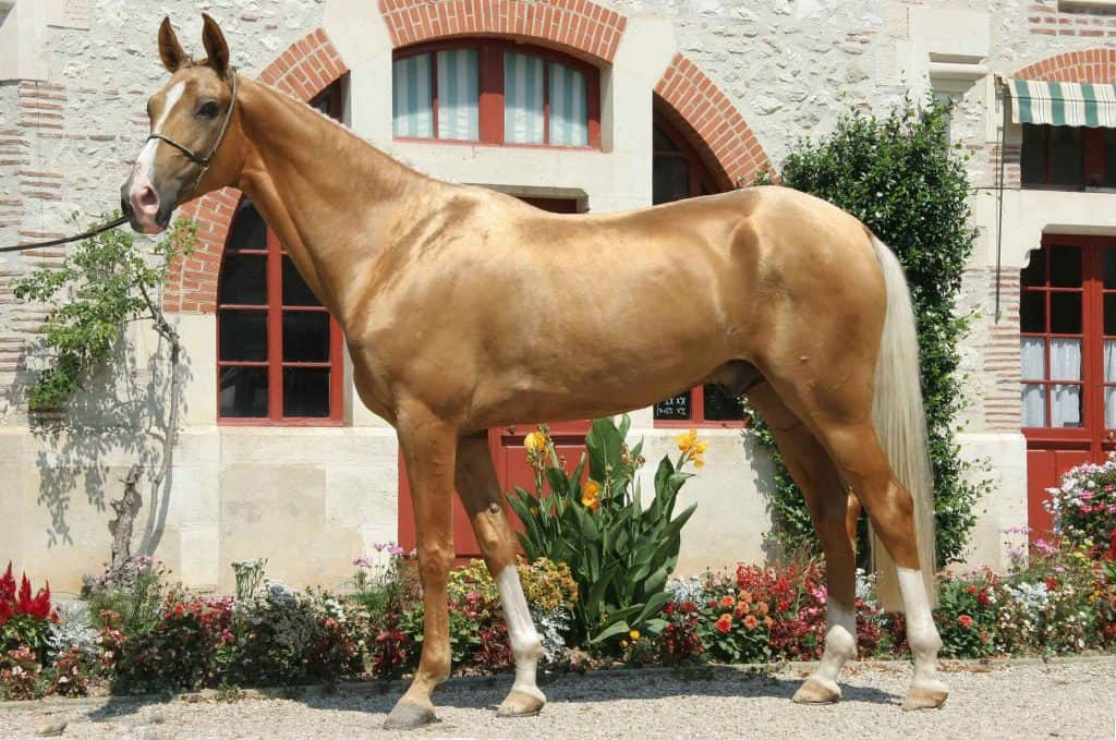 30 Interesting Palomino Horse Facts You Never Knew About