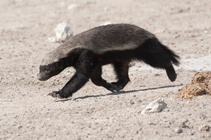 Honey Badger Facts, Honey Badger, Ratel