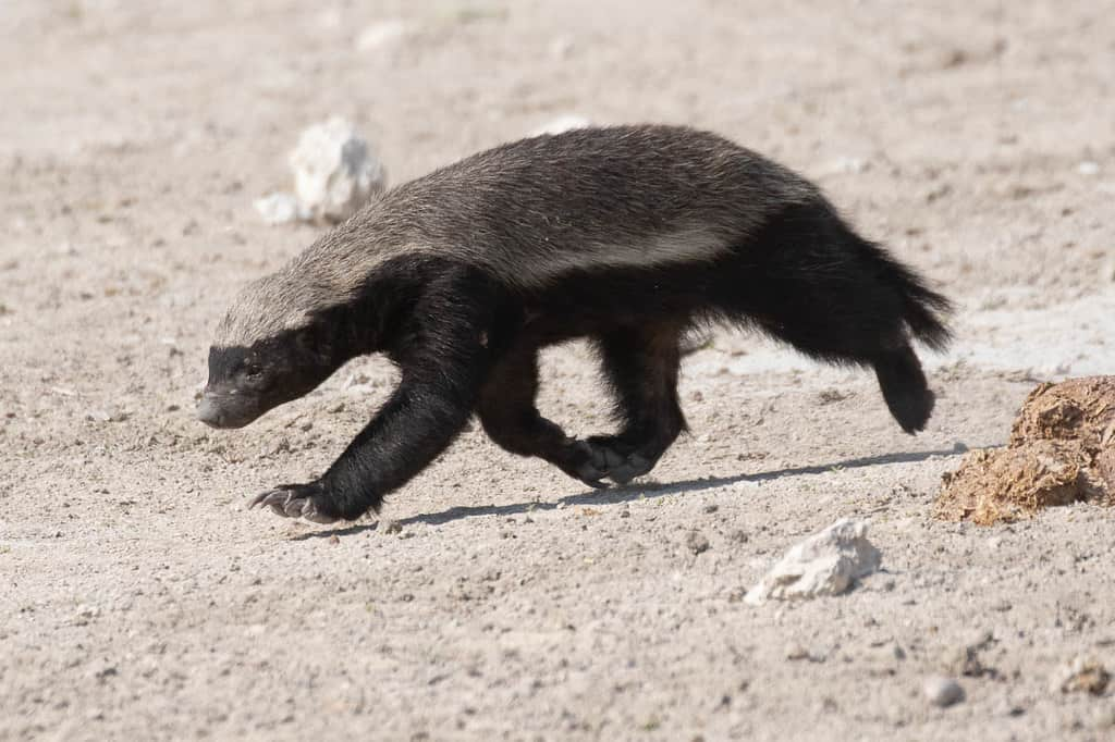 50 Wild Honey Badger Facts About The Most Fearless Animal