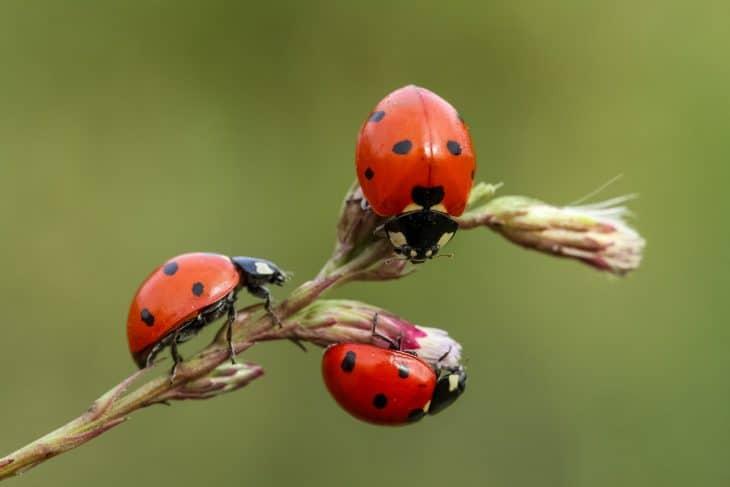 ladybugs on a leaf, cool bug facts