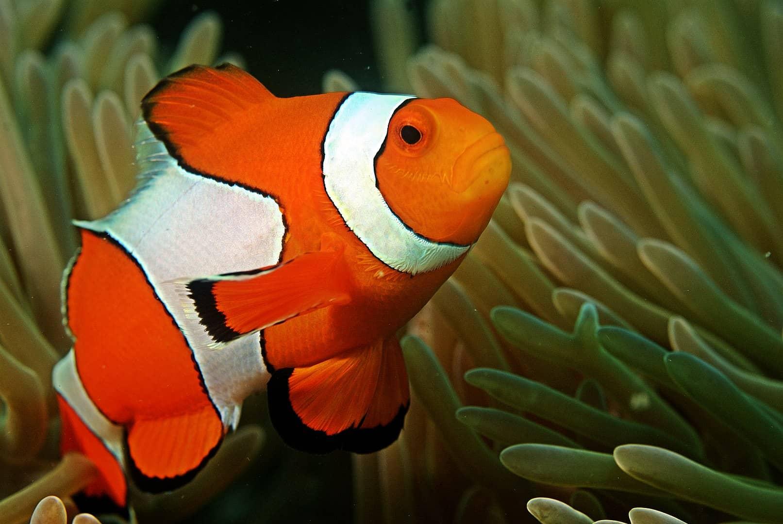 Fish Facts, Clownfish