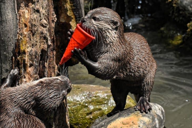 Otter, Otter Facts, River Otter
