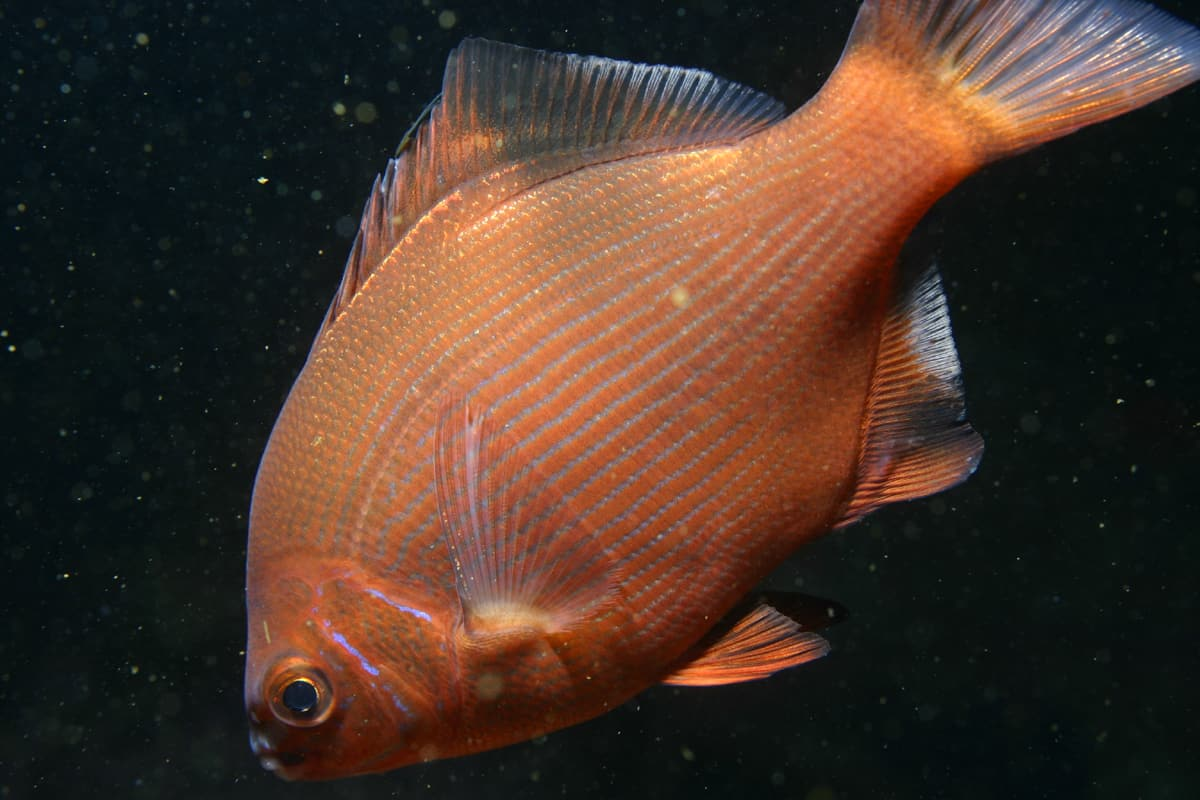 Fish Facts, Surf-Perch